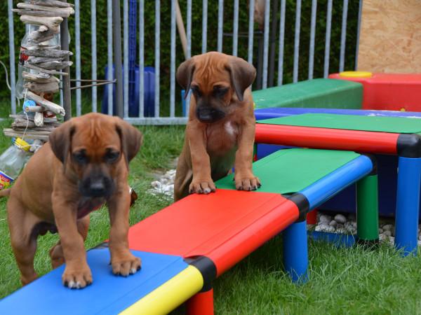 hundespielzeug-welpenspielzeug-rhodesian-ridgeback-hundewippe-_16